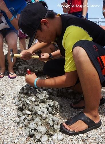Harvesting oysters at Pulau Jemor *knock knock knock*