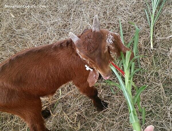 Cyprus Shami Goats