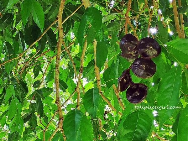 Pokok Jering a.k.a. Jengkol