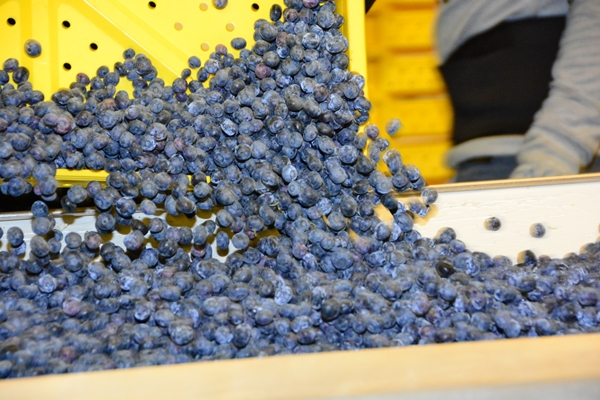 Blueberry harvesting in Washington, U.S.